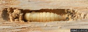 Ash Borer Larvae